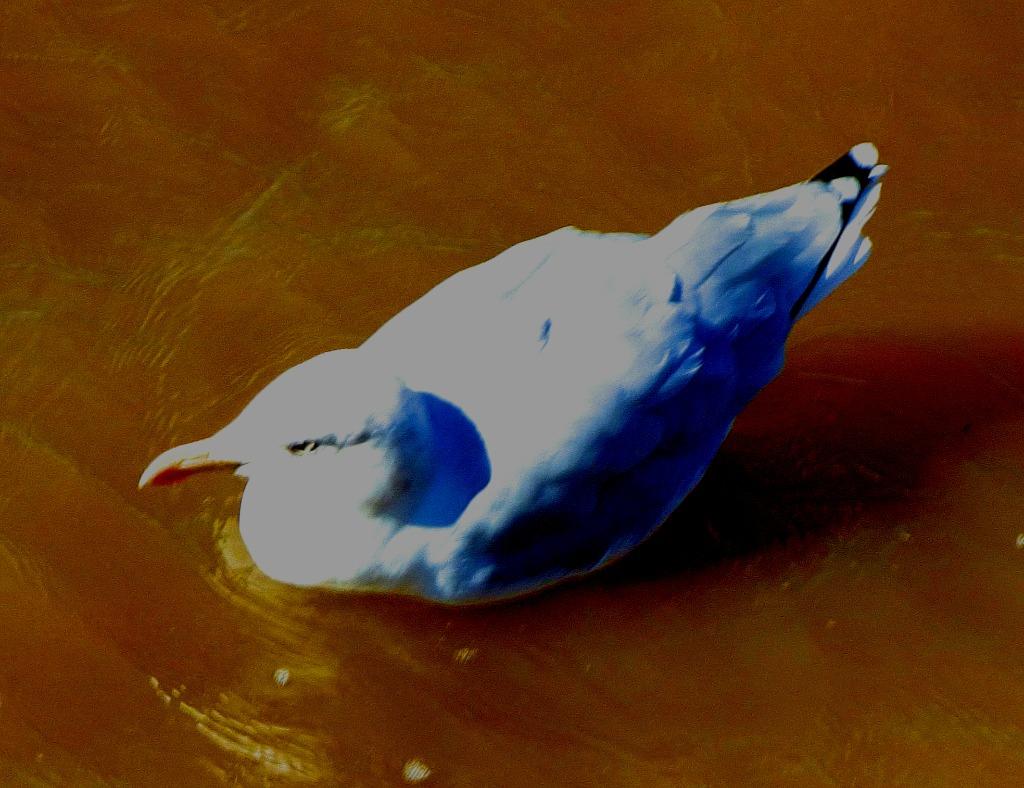 Swimming gull