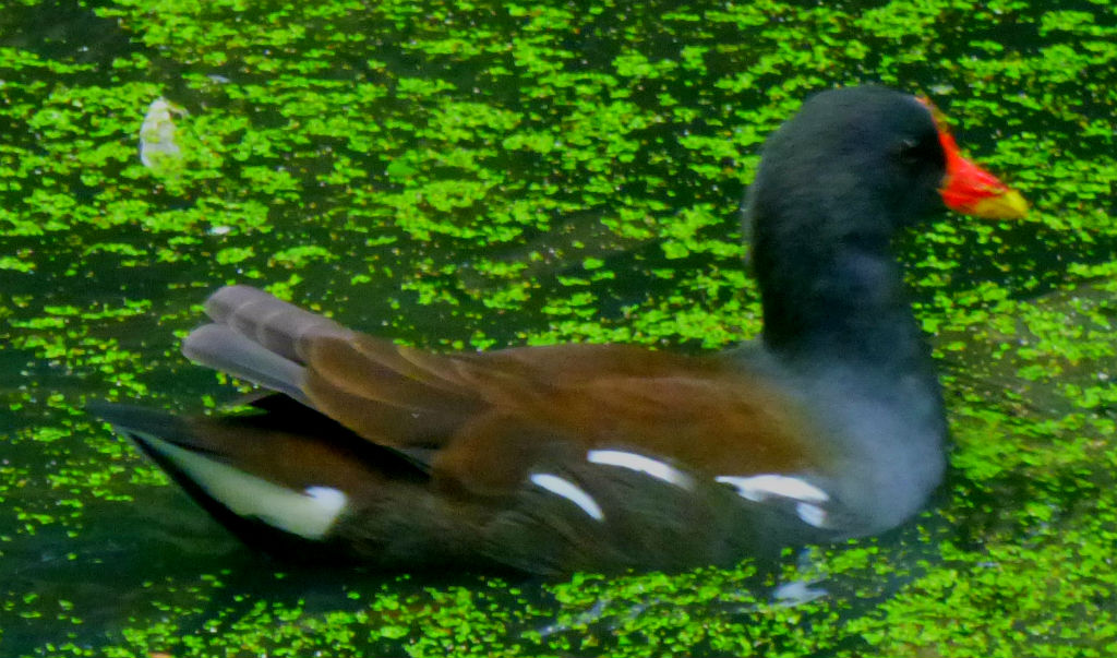 Swimming Moorhen