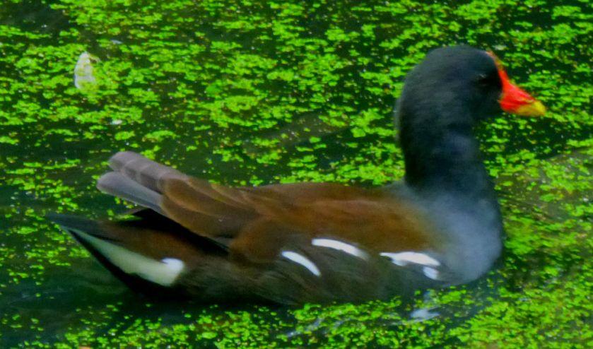 Swimming Moorhen